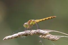 Gemeine Darterlibelle auf einem Samenkopf Stockbild