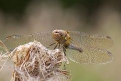 Gemeine Dater-Libelle auf einem alten Köpfchen lizenzfreie stockfotografie