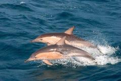 Gemeine Delphine Stockbilder