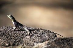 Gemeine Dickzungeneidechse, Kenia Stockbild
