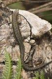 Gemeine Eidechse auf Stück Holz Stockfotos