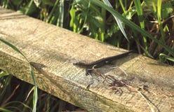 Gemeine Eidechse ist das allgemeinste UK's und weit verbreitetes Reptil Stockbild