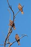 Gemeine Falken (Coculus-varius vahl) auf dem Baum, Indien Stockfotografie