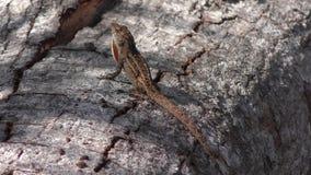 Gemeine Florida-Eidechse auf einem Baum stock video footage