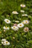Gemeine Gänseblümchen in der Blüte Lizenzfreies Stockfoto