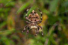 Gemeine Gartenkreuzspinne, die auf Spinnennetz isst Lizenzfreies Stockfoto