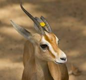 Gemeine Gazelle Stockfotografie