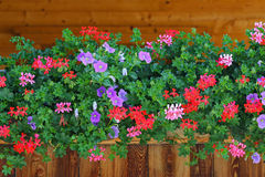 Gemeine Glockenblumen (Glockenblume Rotundifolia) in Europa Lizenzfreie Stockbilder
