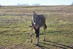 GEMEINE GNU-ANTILOPE Lizenzfreie Stockfotos