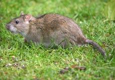 Gemeine graue Ratte. Lizenzfreies Stockfoto