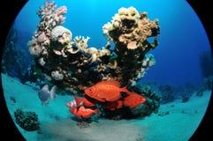 Gemeine Großaugen unter den Korallen lizenzfreies stockfoto