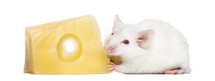 Gemeine Hausmaus, die Käse isst lizenzfreie stockbilder