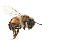 Gemeine Honigbiene auf weißem Hintergrund lizenzfreie stockfotografie