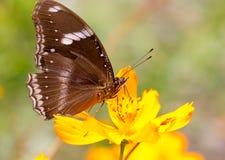 Gemeine indische Krähen-Schmetterlinge. Stockfoto