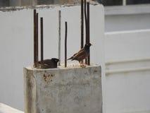 Gemeine indische mynas oder Vögel Lizenzfreies Stockbild