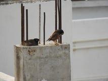 Gemeine indische mynas oder Vögel Lizenzfreie Stockfotos