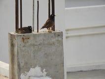 Gemeine indische mynas oder Vögel Lizenzfreie Stockbilder