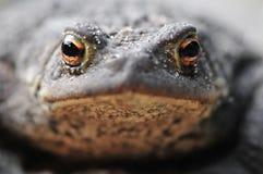 Gemeine Kröte (bufo bufo) Stockfotos