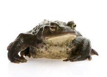 Gemeine Kröte - Bufo bufo Stockfotos