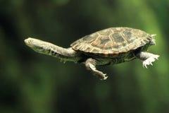 Gemeine lang-necked Schildkröte Lizenzfreie Stockfotografie