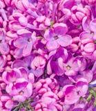 Gemeine (lila oder gemeine Flieder) Blumen des purpurroten, rosa Syringa, Abschluss oben, Beschaffenheitshintergrund Lizenzfreie Stockfotos