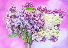 Gemeine (lila oder gemeine Flieder) Blumen des purpurroten, rosa Syringa, Abschluss oben, malvenfarbener Hintergrund Lizenzfreie Stockbilder
