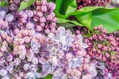 Gemeine (lila oder gemeine Flieder) Blumen des purpurroten, rosa Syringa, Abschluss oben, malvenfarbener Hintergrund Lizenzfreies Stockfoto