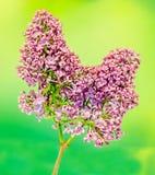 Gemeine (lila oder gemeine Flieder) Blumen des purpurroten, rosa und weißen Syringa, Abschluss oben, grüner Hintergrund Stockfotos