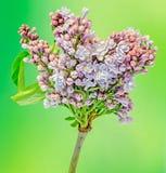Gemeine (lila oder gemeine Flieder) Blumen des purpurroten, rosa und weißen Syringa, Abschluss oben, grüner Hintergrund Lizenzfreie Stockfotos