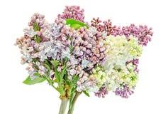 Gemeine (lila oder gemeine Flieder) Blumen des purpurroten, rosa und weißen Syringa, Abschluss oben, weißer Hintergrund Stockfoto