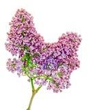 Gemeine (lila oder gemeine Flieder) Blumen des purpurroten, rosa und weißen Syringa, Abschluss oben, weißer Hintergrund Stockfotografie