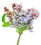 Gemeine (lila oder gemeine Flieder) Blumen des purpurroten, rosa und weißen Syringa, Abschluss oben, weißer Hintergrund Lizenzfreie Stockbilder
