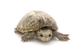 Gemeine Moschus-Schildkröte Stockbild