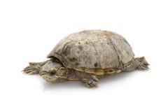 Gemeine Moschus-Schildkröte Stockfotos