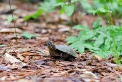 Gemeine Moschus-Schildkröte, Sternotherus odoratus Stockbild