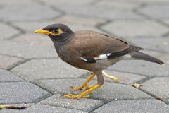 Gemeine Myna Acridotheres-tristis Vögel von Thailand Lizenzfreie Stockbilder