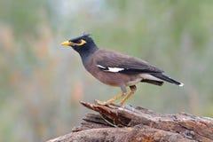 Gemeine Myna Acridotheres-tristis Vögel von Thailand Stockbilder