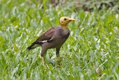 Gemeine Myna Acridotheres-tristis Vögel von Thailand Stockfoto
