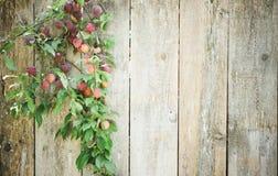 Gemeine Pflaumen, die gegen Zaun wachsen Stockbilder