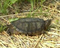 Gemeine reißende Schildkröte Lizenzfreie Stockfotografie