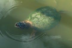 Gemeine reißende Schildkröte Lizenzfreie Stockfotos