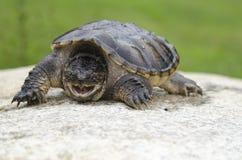 Gemeine reißende Schildkröte Lizenzfreies Stockbild