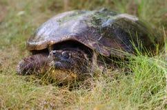 Gemeine reißende Schildkröte stockbild