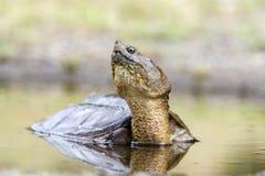 Gemeine reißende Schildkröte, Georgia USA Lizenzfreies Stockbild