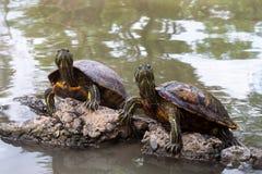 Gemeine reißende Schildkröten stockfotos