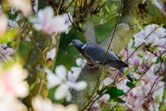 Gemeine Ringeltaube im Magnolienbaum Lizenzfreie Stockfotos