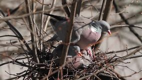 Gemeine Ringeltauben, Columba palumbus, ein Nest errichtend stock video footage