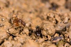Gemeine rote Ameise (Myrmica-rubra) und kleine schwarze Ameise (Lasius-Nigra Lizenzfreie Stockbilder