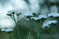 Gemeine Schafgarbe, Achillea-millefolium Stockfoto