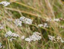Gemeine Schafgarbe (Achillea Millefolium) Stockbild